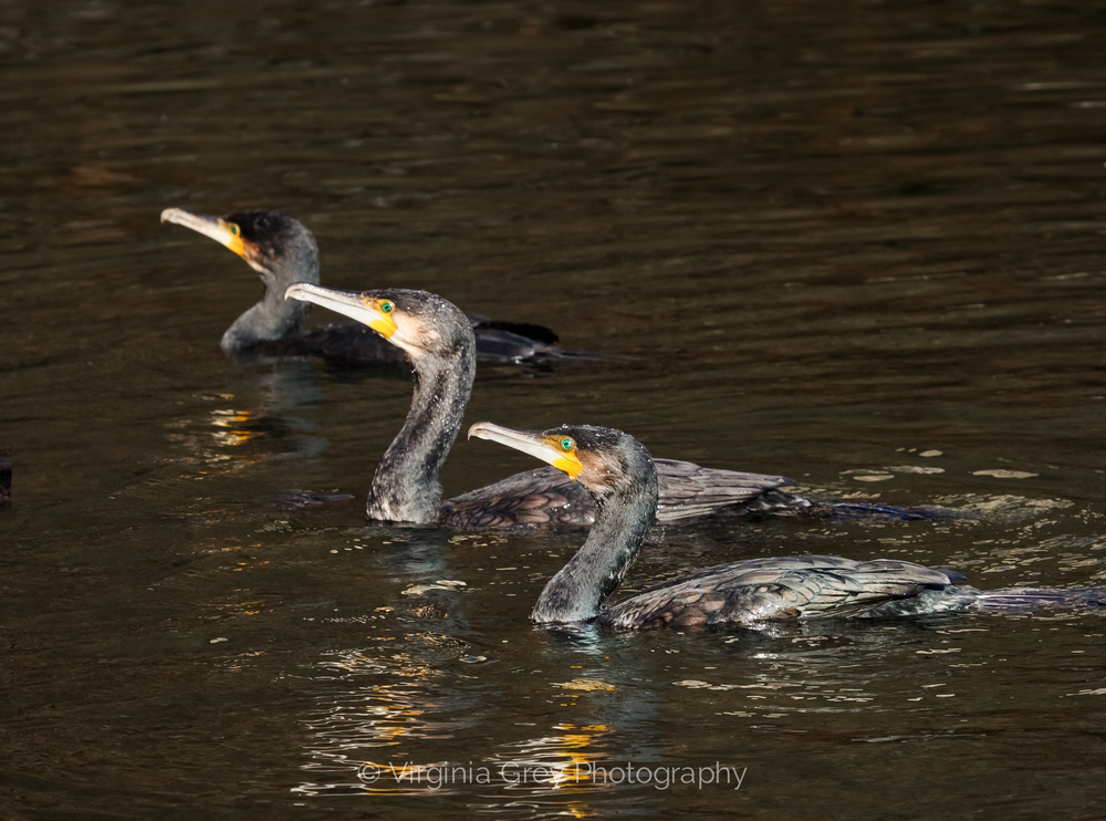 cormorants in group final.jpg