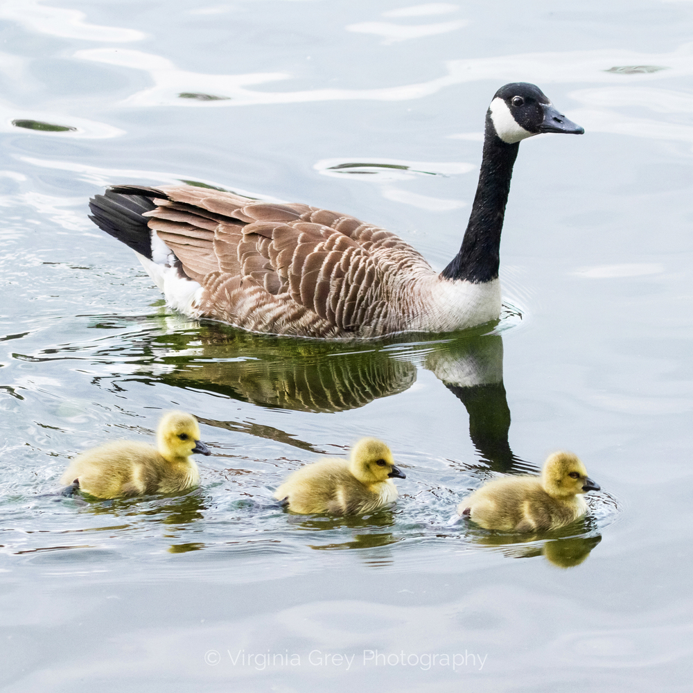 Canada goose with 3 goslings IMG_8769 square.jpg