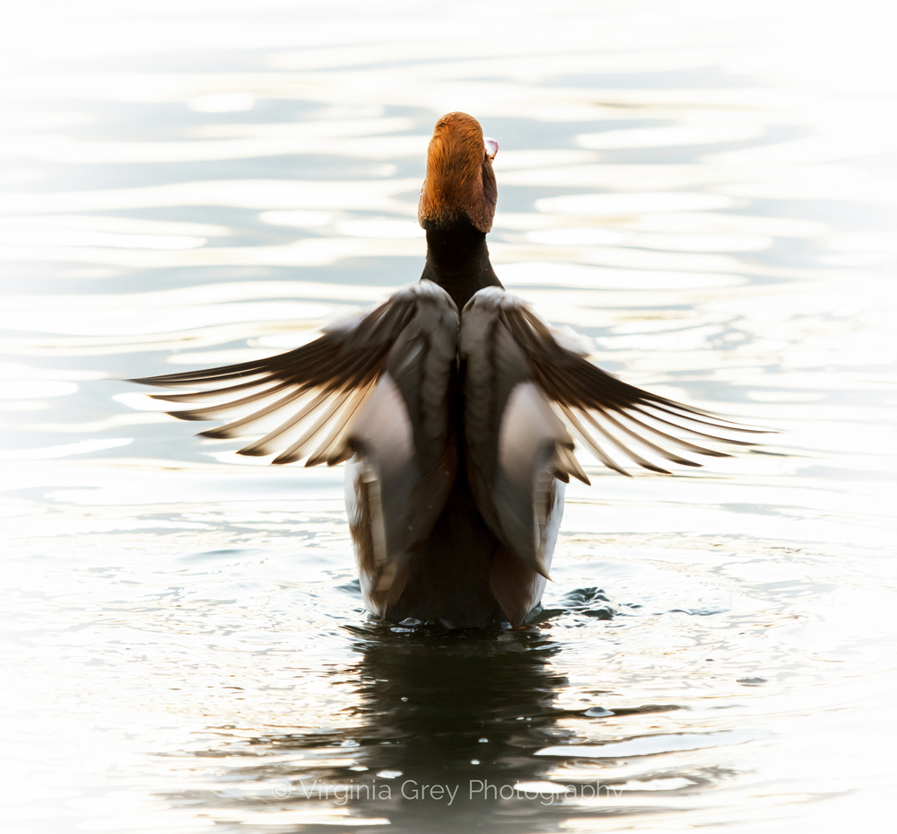 Red crested pochard wings out crop n gradientIMG_9223.jpg
