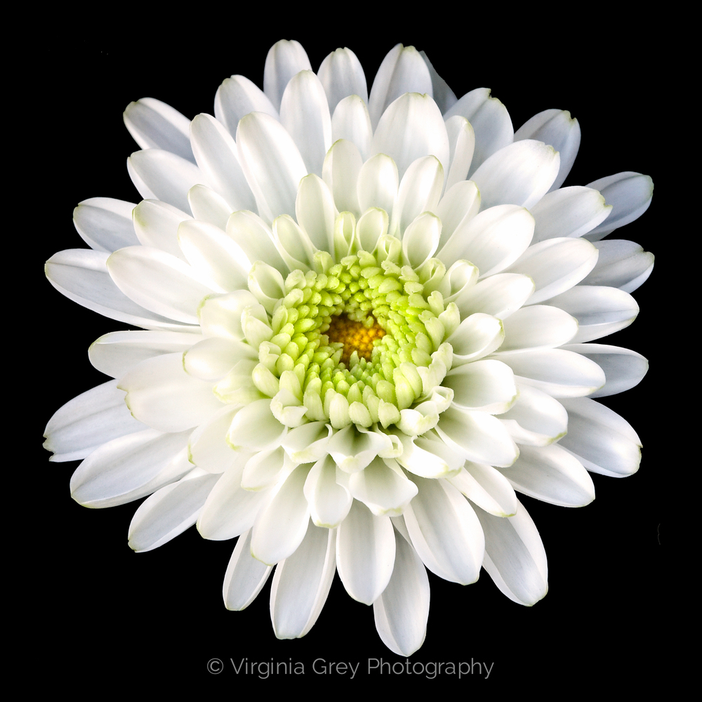 Chrysanthemum 1.jpg