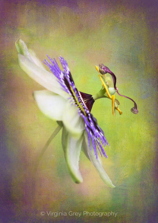 017 Passion Flower  Member 10312.jpg