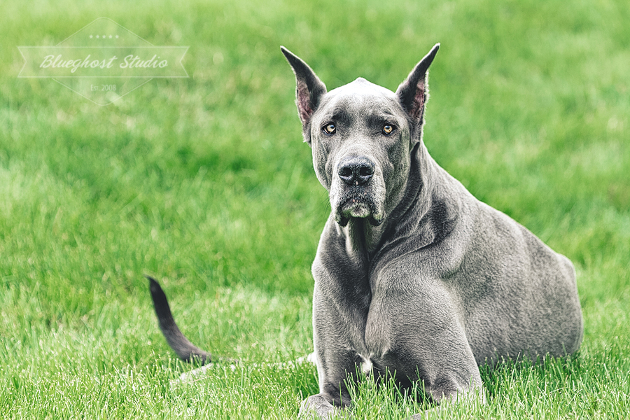 greatdane-blue-colorado-photographer