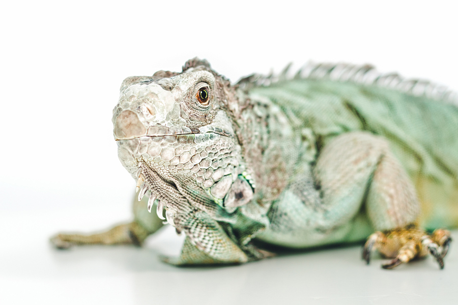 iguana-portrait.jpg