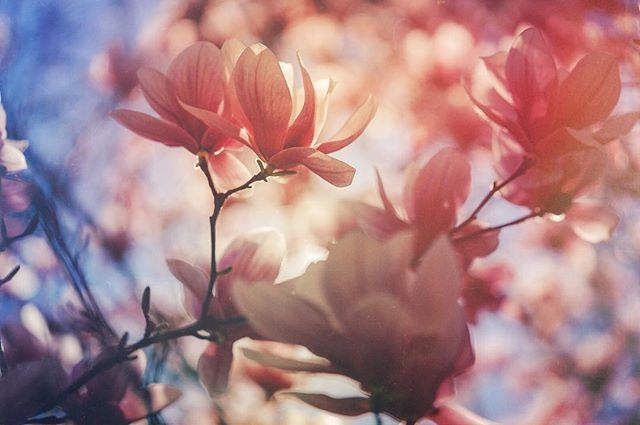 Something springy. 🐝  #spring #magnolia #mextures #moody_tones #moody_arts #saucermagnolia #flora_addict #ournaturedays