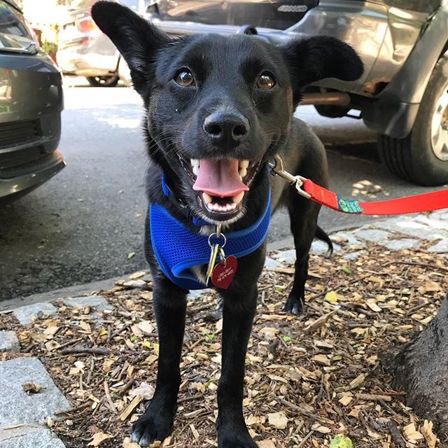 "Welcome Wendell to group walks!  He's a recently rescued Lab/Collie mix with a temperament his Mom describes as ""if he just smoked a bowl in the backyard."" We have no idea what Mom is alluding to but have to admit Wendell is the chillest puppy we've ever met! 😴🌱"
