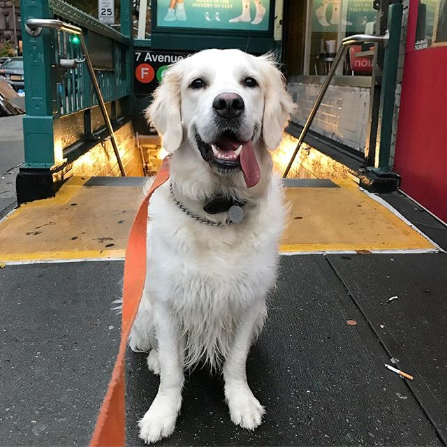 Wicked pissah!  Louis the Golden Retriever is joining us for walks as a transplant from Boston!  He is excited to meet the Brooklyn townies, grab a sip from the bubblahs in the park, and sample a local badadoe at the farmers market.  Does he approve of social media posts poking fun at Boston lingo?  No suh!  Will he take a treat anyway?  Yes suh!