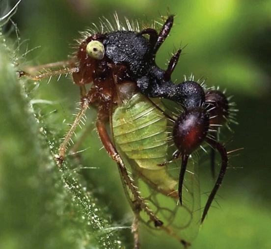 Treehopper Ant
