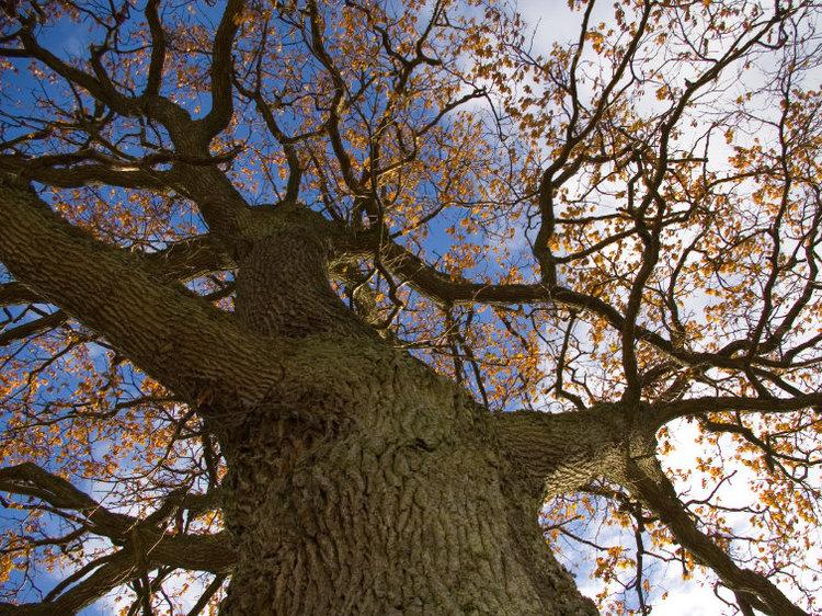 Tree Mass