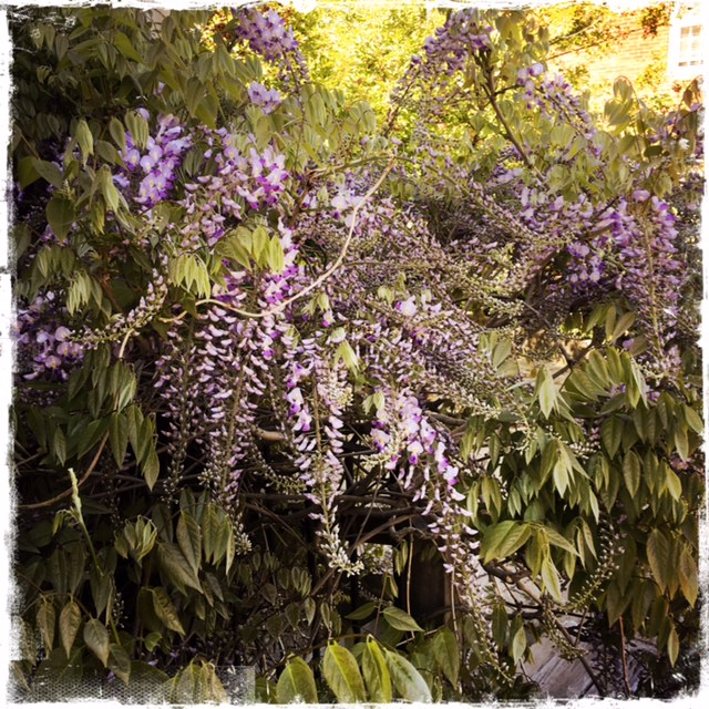 The wisteria was in bloom all over town...so beautiful!