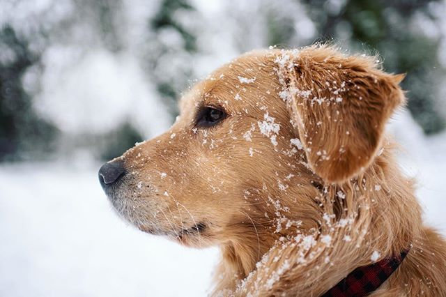 Yeti or Golden? * * * #FinnTheGolden #goldensofinstagram #instadog #retrievers #allkindsofmagic #snowpocalypse #snowmageddon #Nikon #snowday #winterphotography