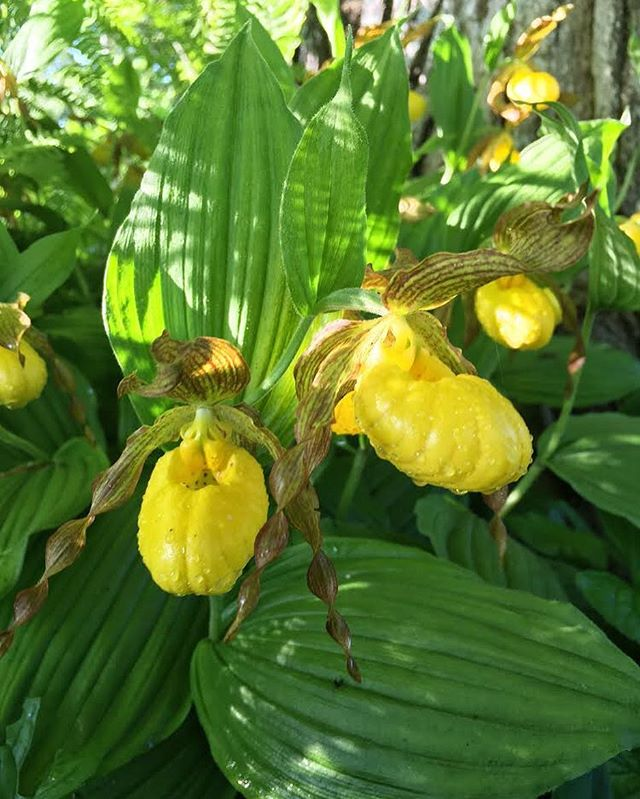 Little lady slippers this morning 💛 #aftertherain #freshandclean  #ladyslippers