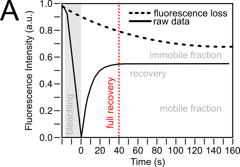 FRAP recovery curve