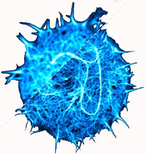 Actin cytoskeletal dynamics.png