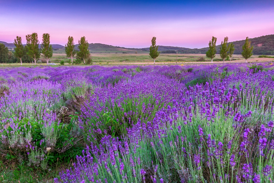 Sunset over a summer lavender field in Tihany, Hungary© Kavita