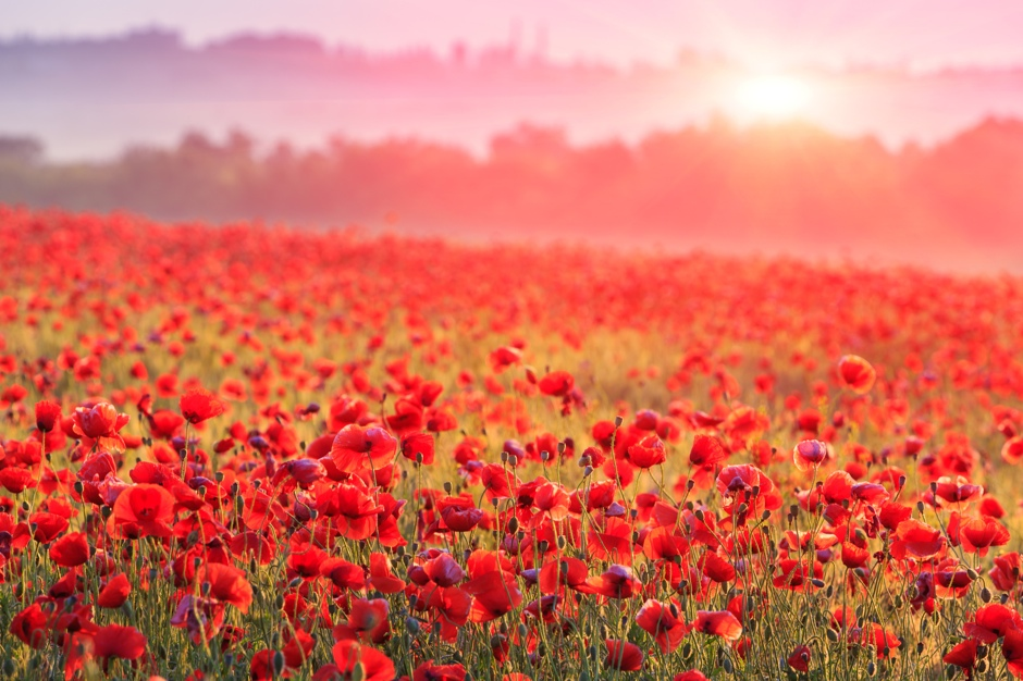 red poppy field in morning mist© Pavel Klimenko