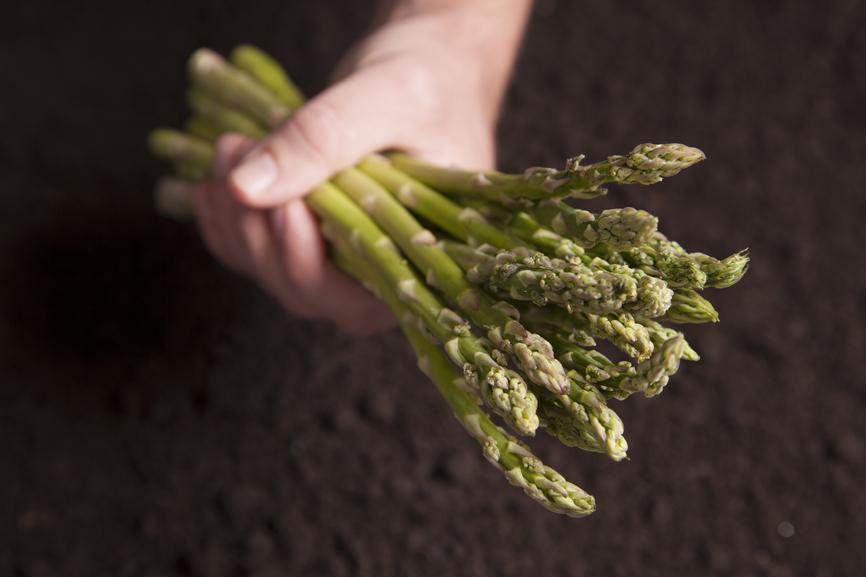 Hand holding Asparagus
