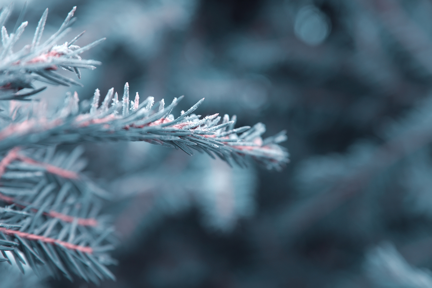 winter nature background,spruce twig in hoarfrost