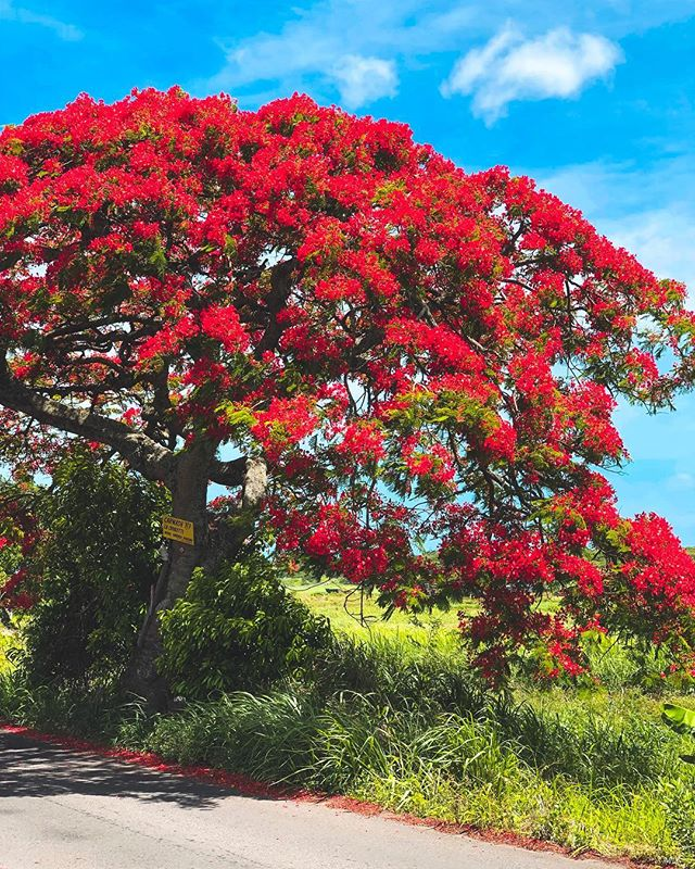 It's festive season here & the island is in full bloom. 💯🌺 But one umbrella-shaped tree will instantly catch your attention - the Flamboyant can be spotted from afar with its splashy display of flowers in a riot of colours - red, orange & yellow!#islandinbloom . . . 📸 in #monchoisy #mauritius🇲🇺 ———————————————— #travelbug #igportraits  #flamboyant #neverstopexploring #livetoexplore  #escape ##stayandwander #tripstagram #peoplescreatives  #mensfashion #summervibes #summer #instatravel #wanderlust #blue #island_features #flametree #discoverymauritius #summerblooms #goodlifemauritius #festivevibes