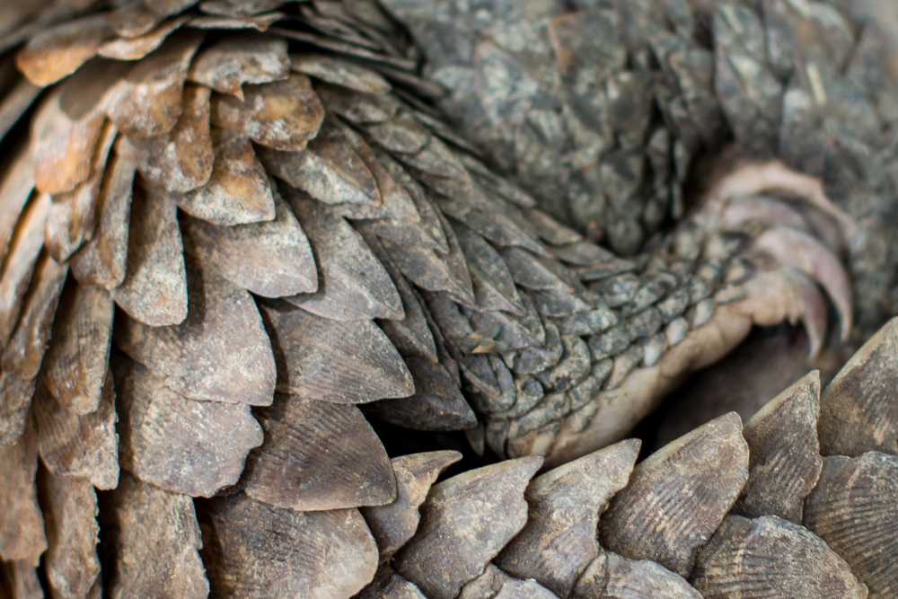 Pangolin Conservation - Togo