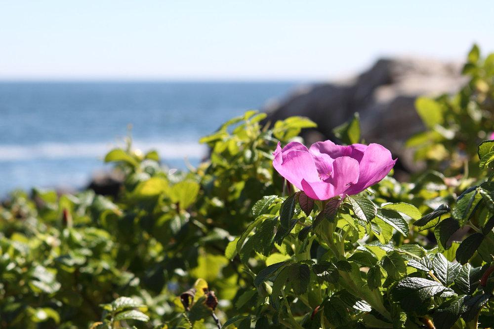 Rugosa - Popham Beach, Maine