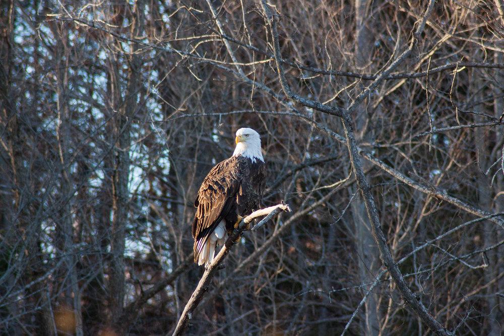 Eagle - Gardiner, Maine