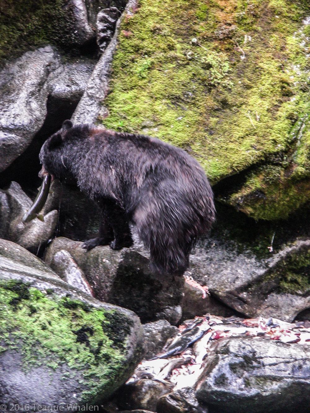 Annan Creek Bear.jpg