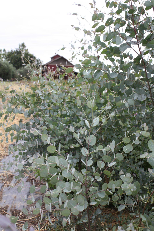 Silver Drop Eucalyptus