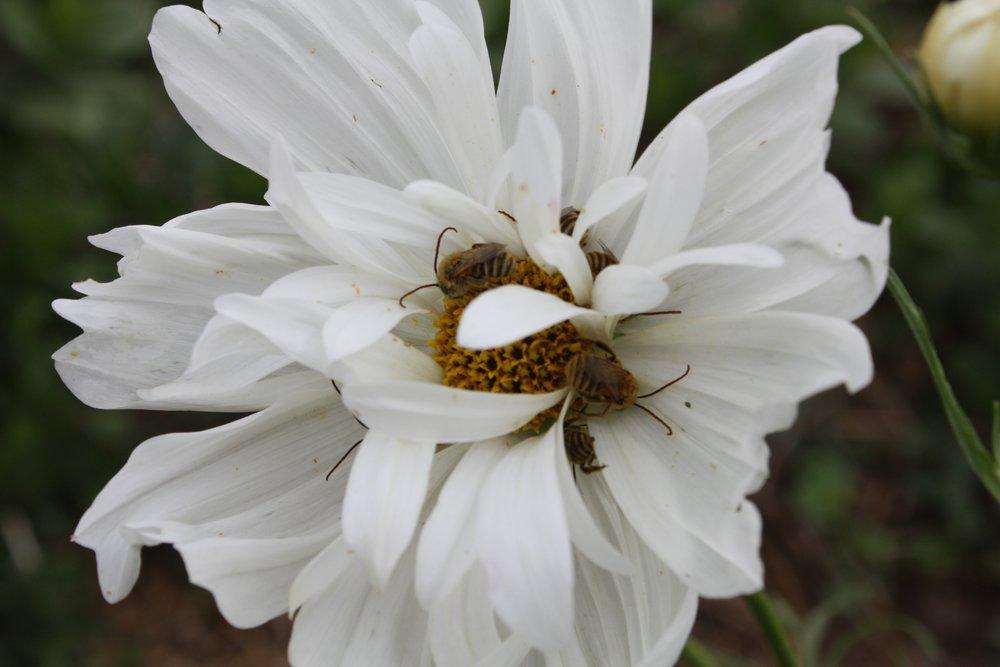 Sleeping bees in Cosmo Flower