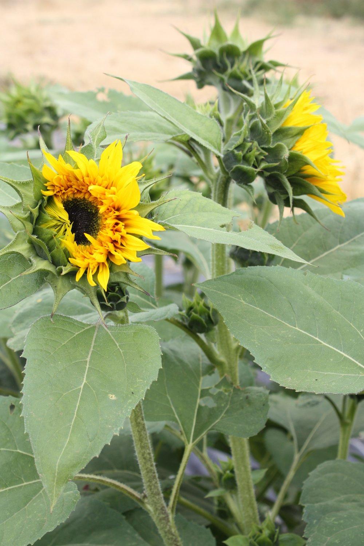 Panache Sunflower Opening