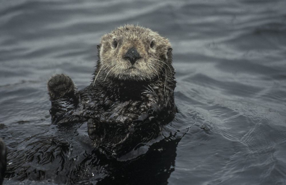 Sea Otter_not poster.jpg