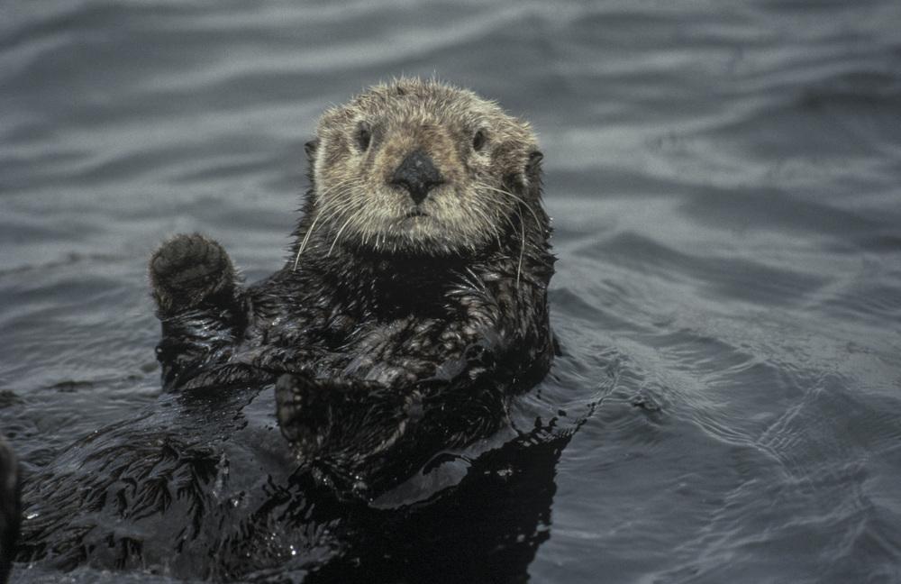 Sea Otter_not poster.jpg