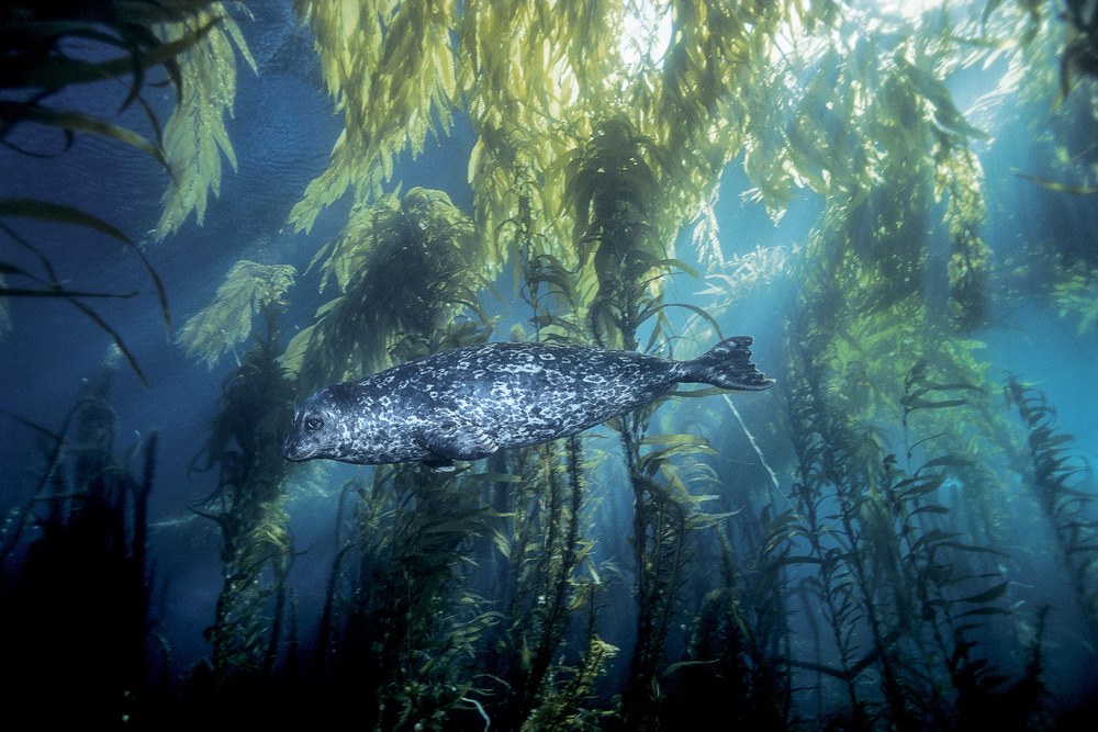 Harbor seal_kelp forest.jpg