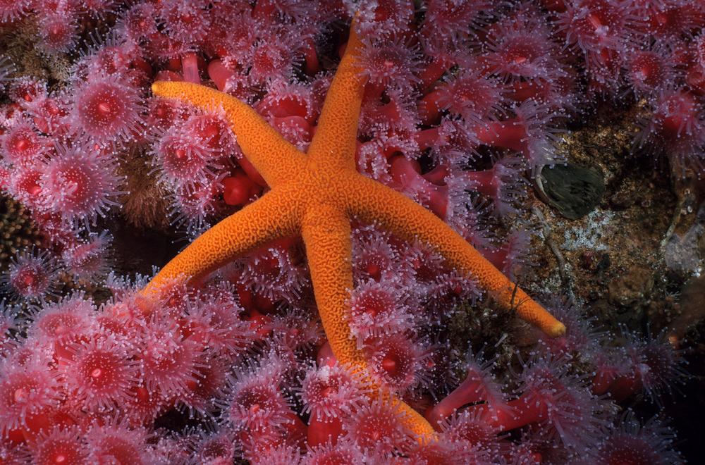 Blood star on Corynactus.jpg