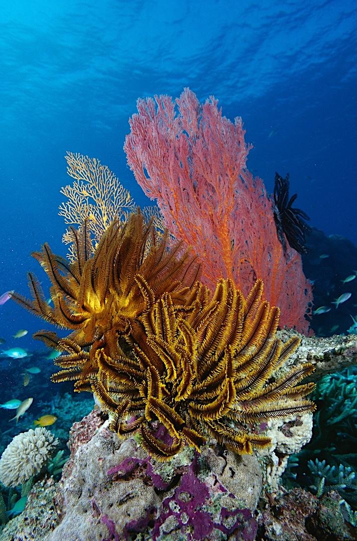 Crinoids & sea fans