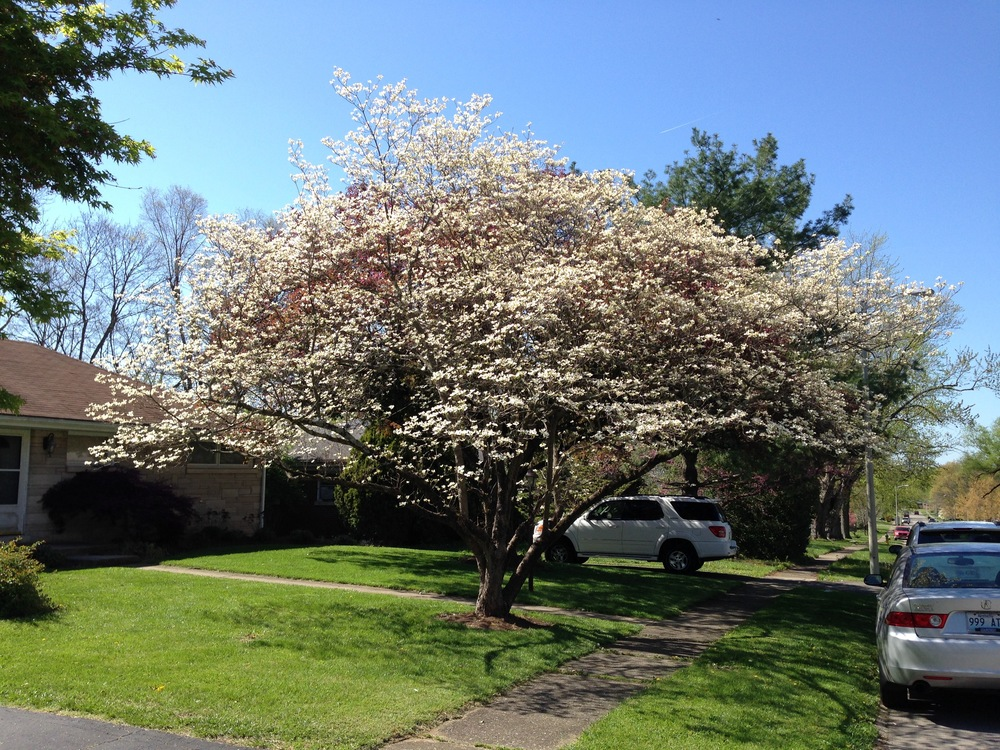 single white dogwood.jpg
