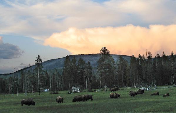 Bison_at_Sunset.jpg