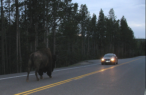 Bison_vs_Jetta.jpg