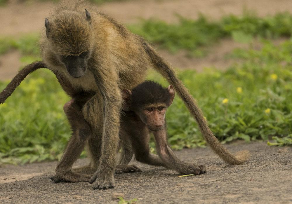 baboon babies-2.jpg