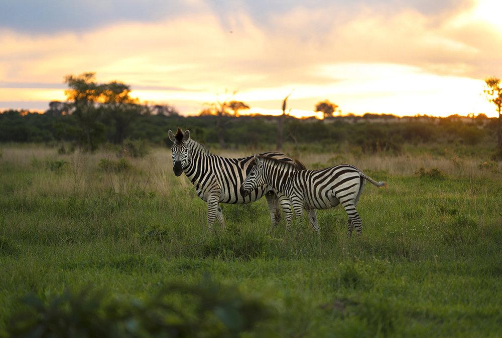zebra 3small.jpg