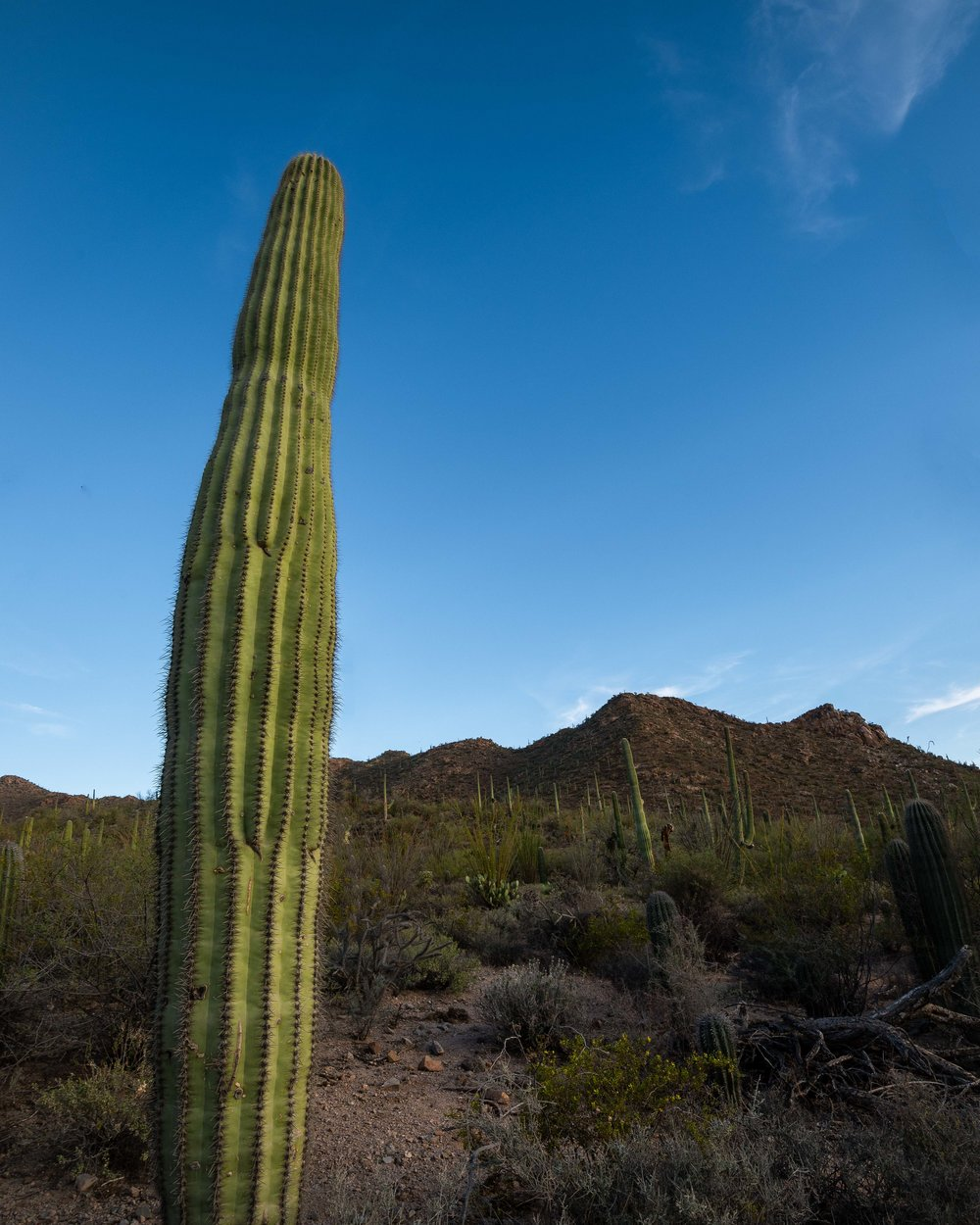 Saguaro - Arizona
