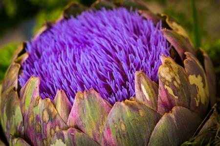 artichoke-flower2416293_640.jpg