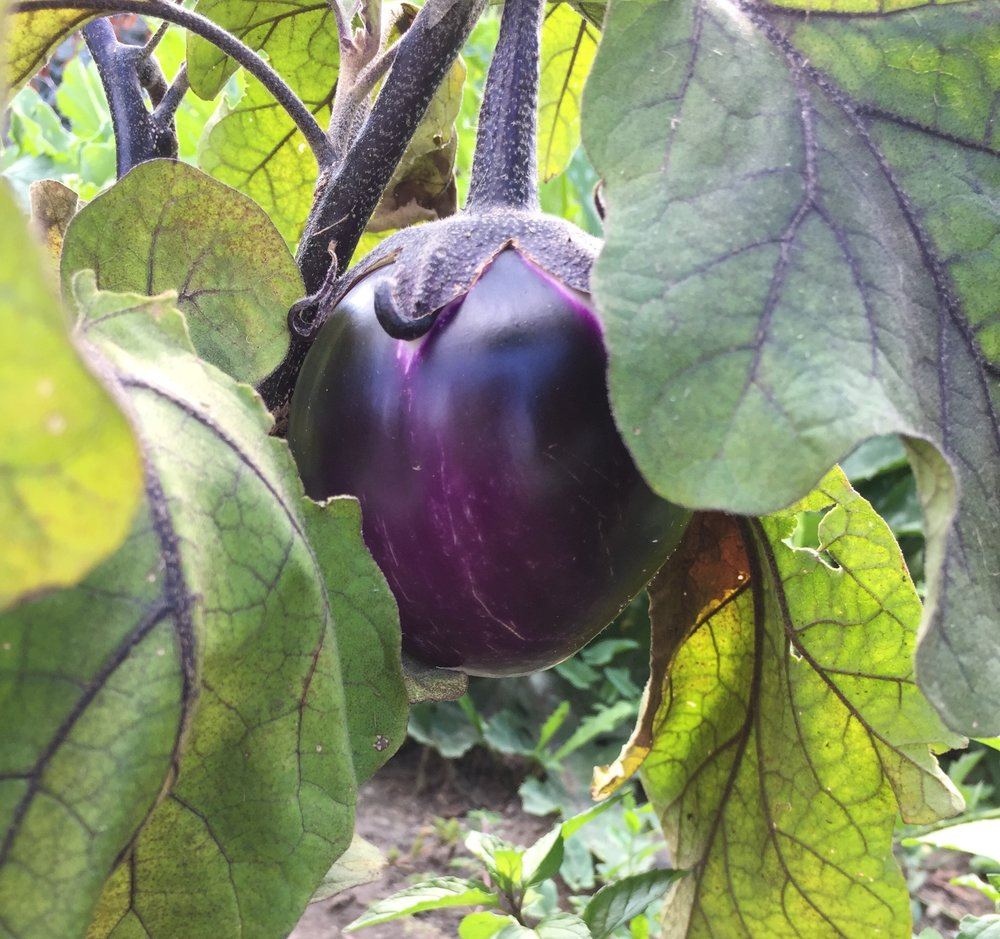 Eggplant growing in my garden today!