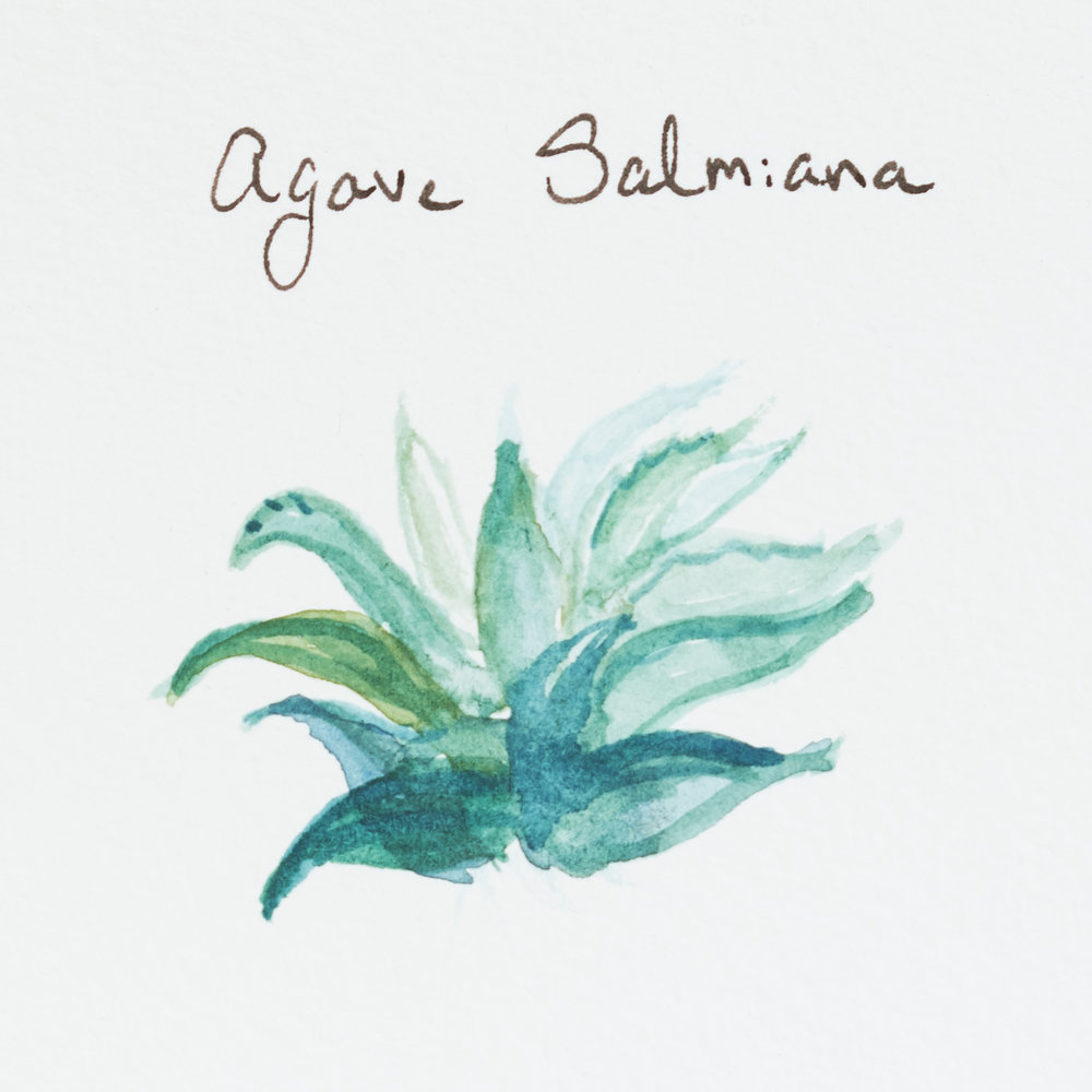 Agave Salmiana