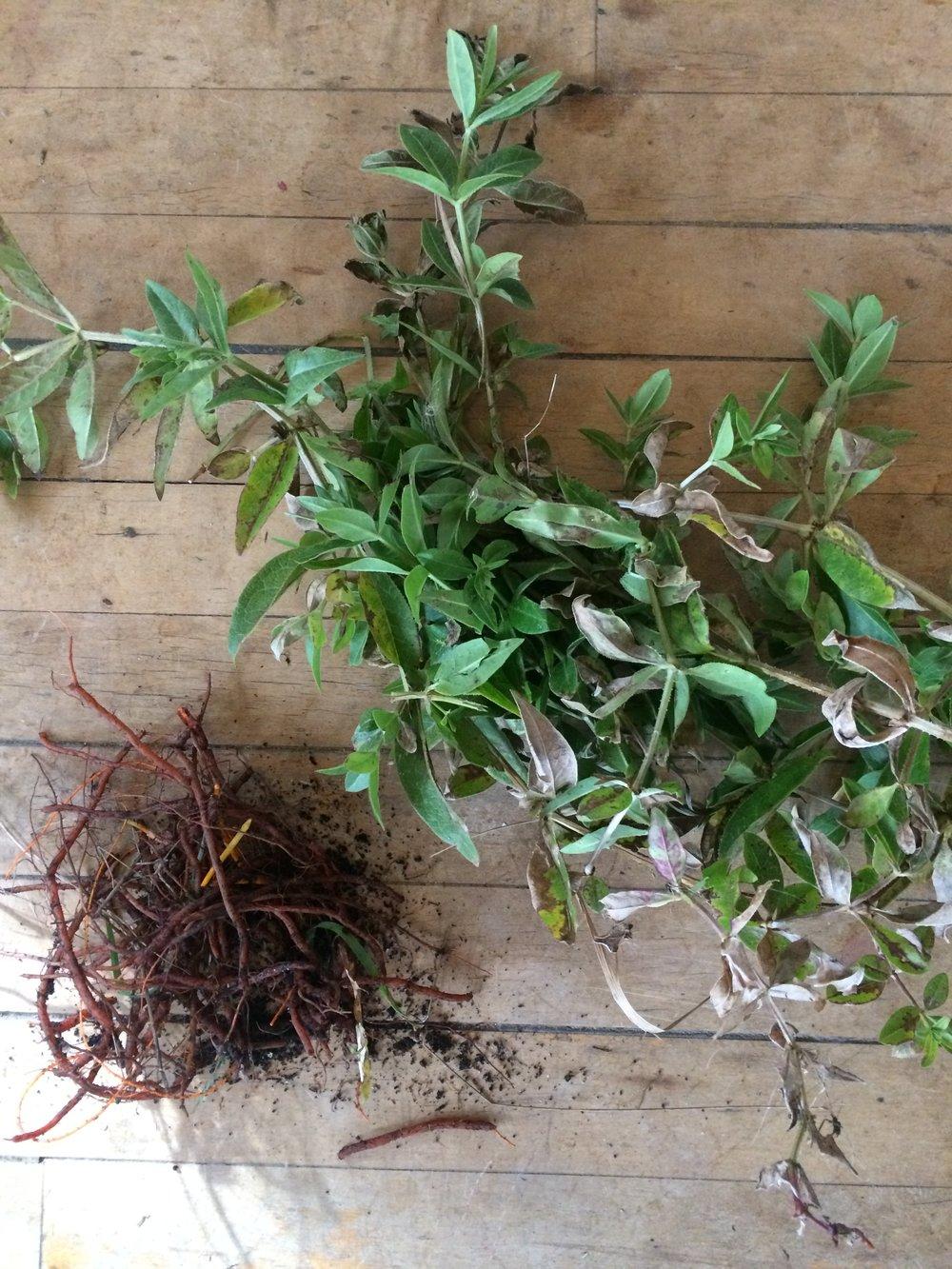 Rubia tinctorum, Madder root.
