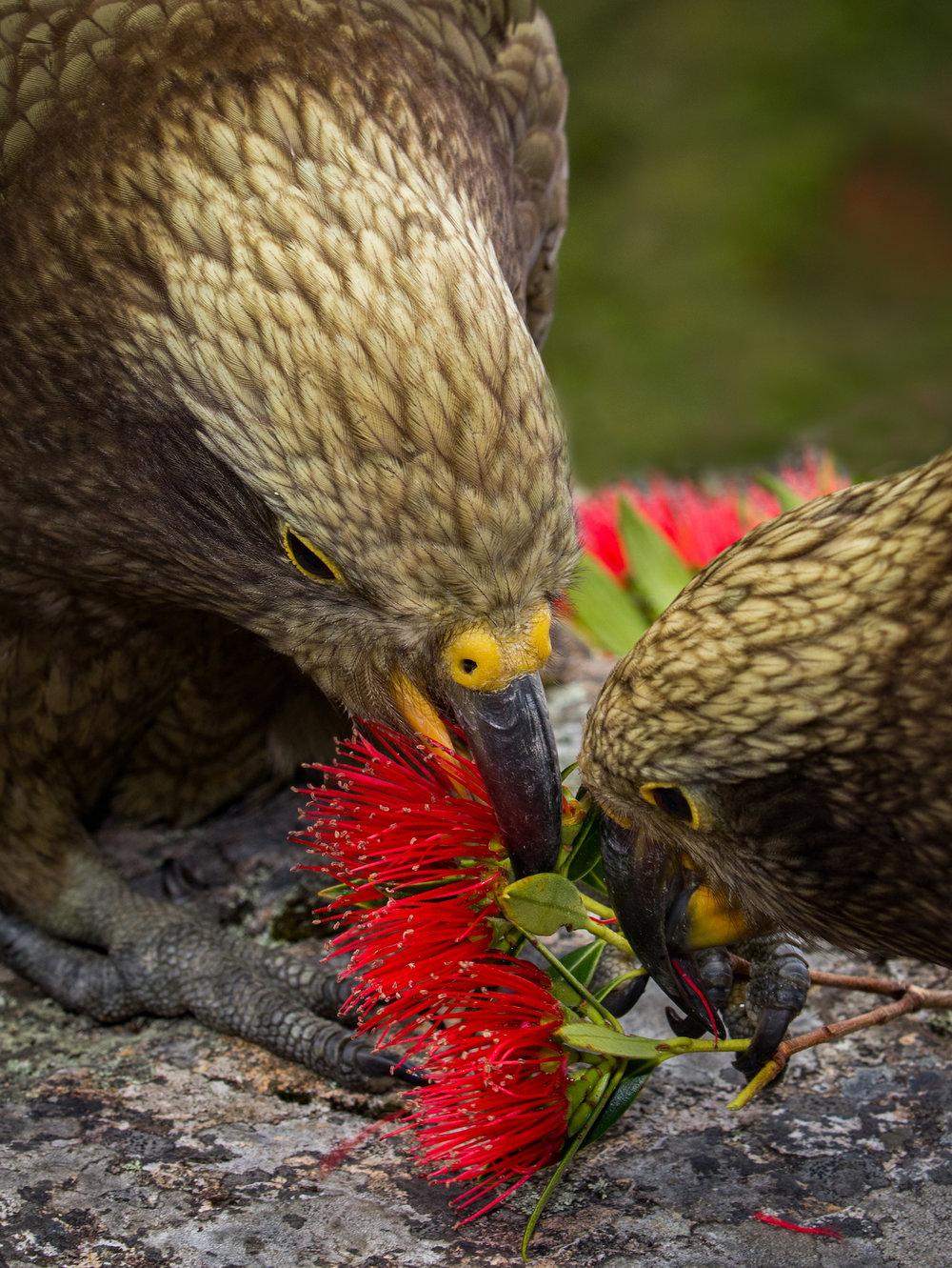 Kea with rata flowers