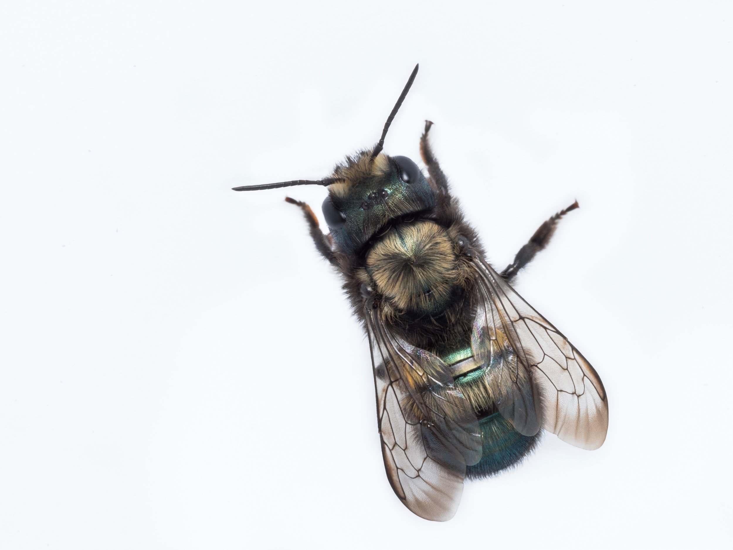 Bee Spotlight: Blue Orchard Mason Bee  - by Bee & Bloom