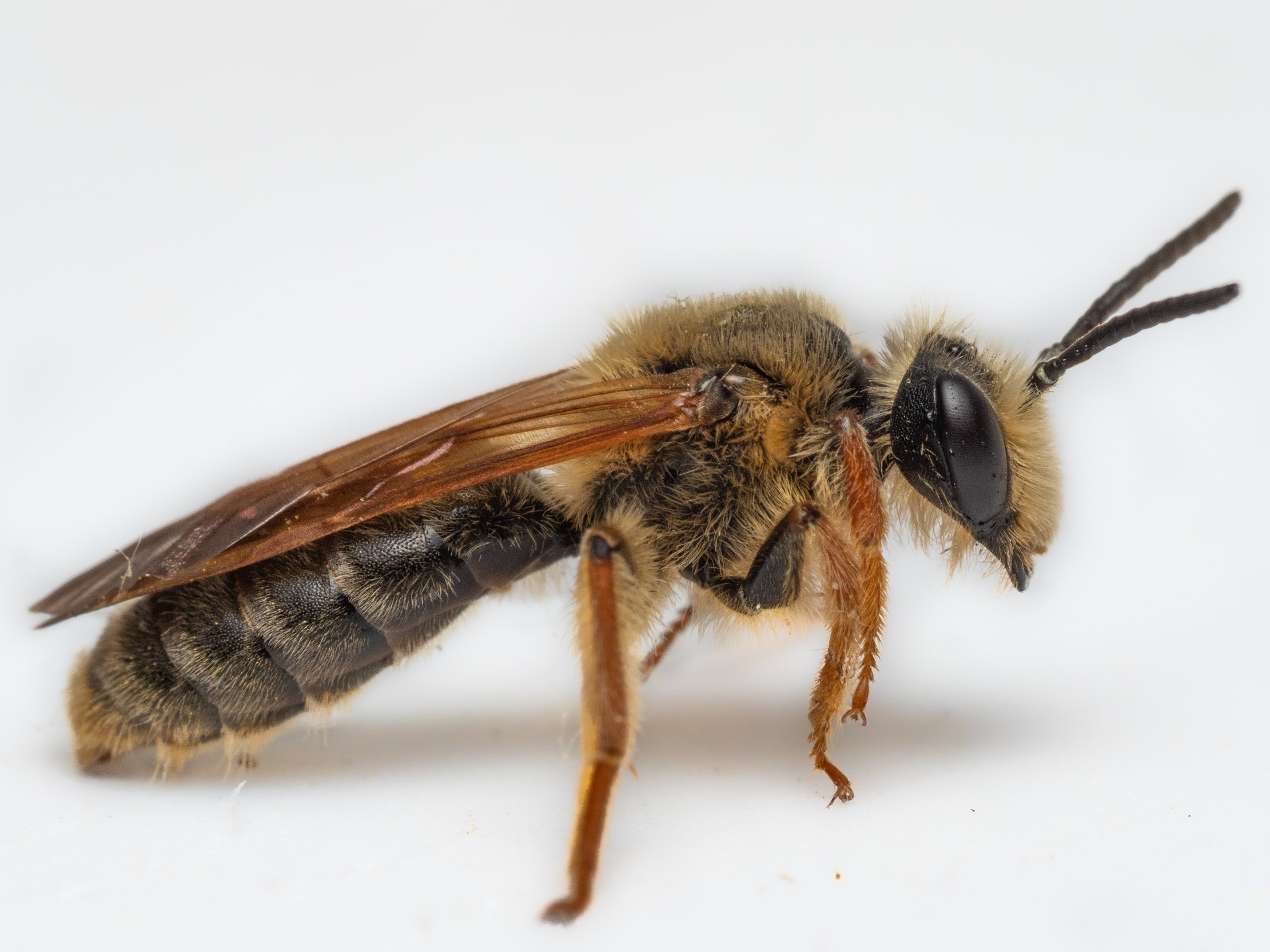 Bee & Bloom — Bee Spotlight: Prunus Miner Bee