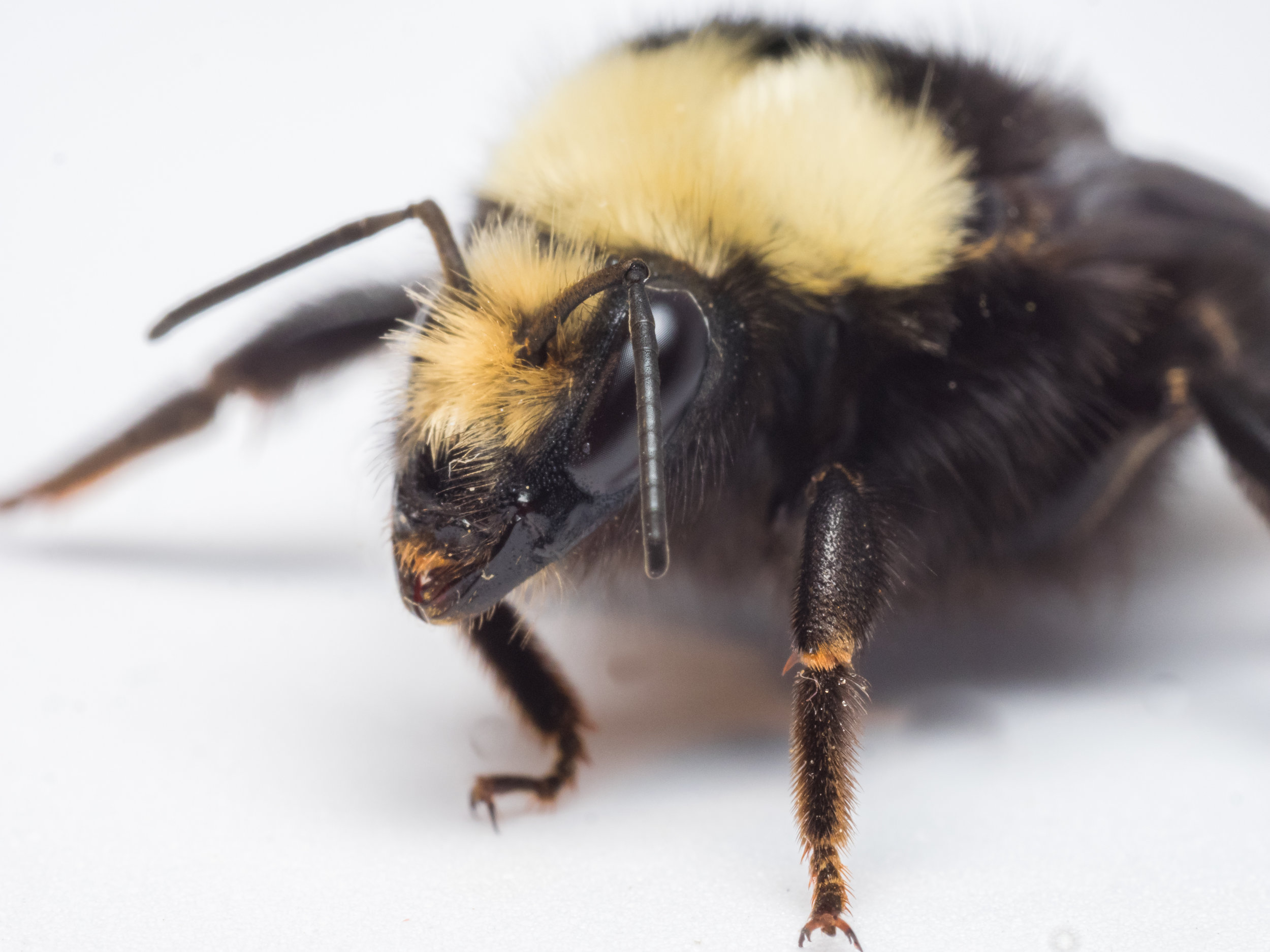 Bee Spotlight: Yellow-Faced Bumblebee - by Bee & Bloom