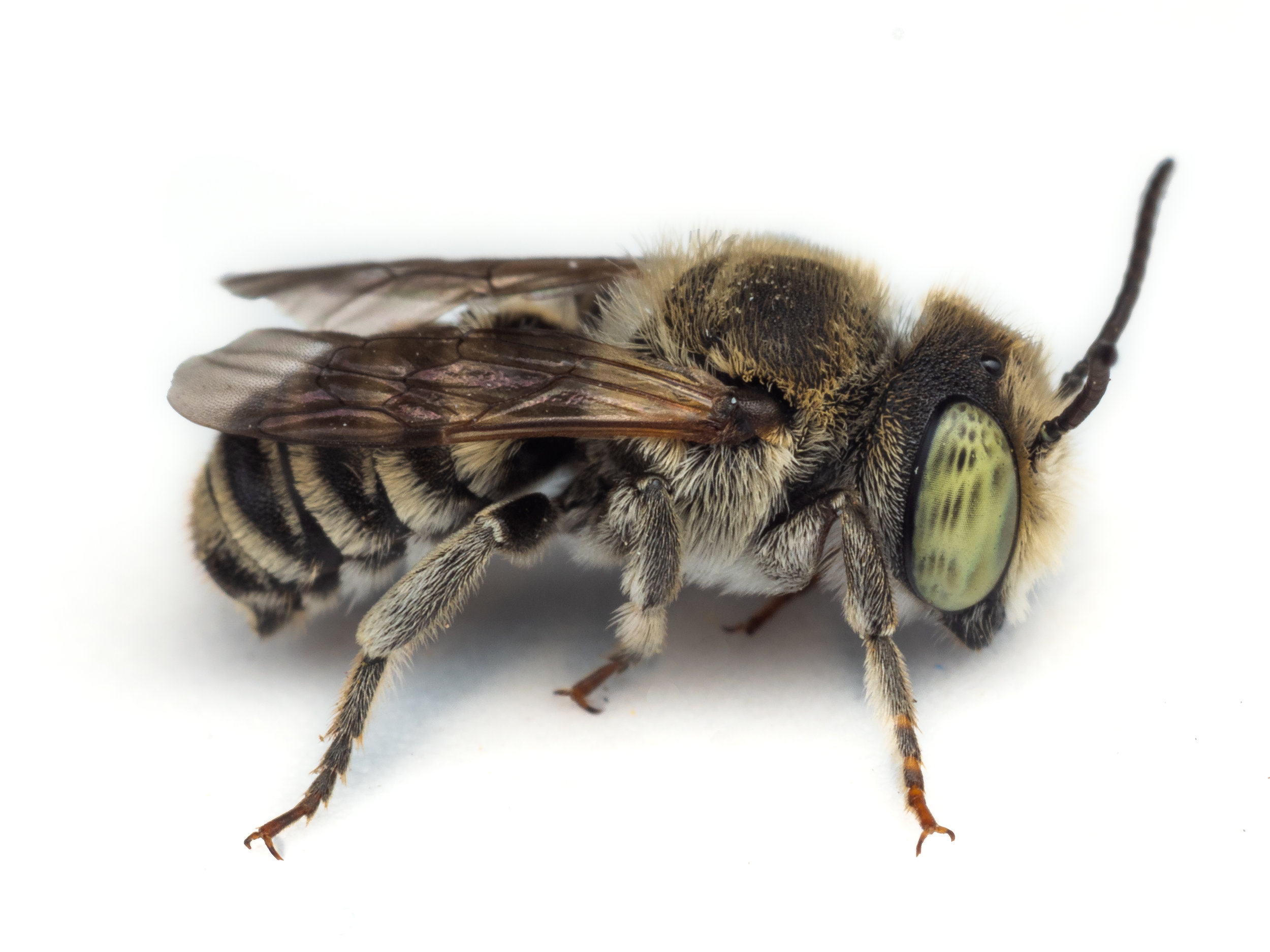 Bee & Bloom — Bee Spotlight: Alfalfa Leafcutter Bee