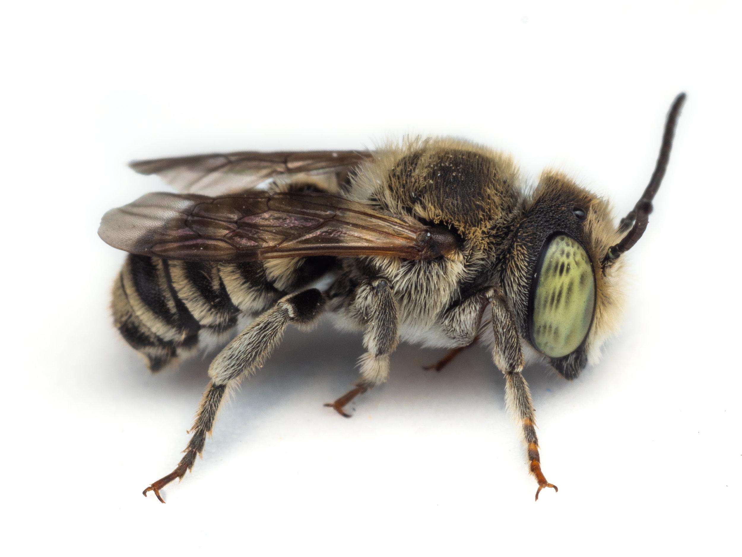 Bee & Bloom — Bee Spotlight: Alfalfa Leafcutter Bee